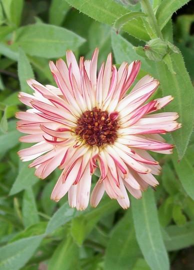 Marigold 'Sherber Fizz' (Calendula officinalis (English marigold))