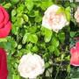 Roses in June.. (Rosa)