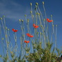 Poppies growing on a French wall.