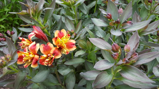 Alstroemeria Indian Summer first flowers