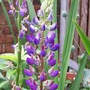 the second flower on this plant - less eaten! (Lupinus angustifolius (Blue Lupin))