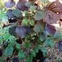 Corylus_maxima_purpurea.