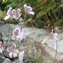 Erodium cheilanthifolium (For my File) (Erodium cheilanthifolium)
