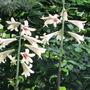 Cardiocrinum   (Cardiocrinum giganteum (Giant lily))