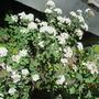 IMG 7197- Bridal Wreath Spirea