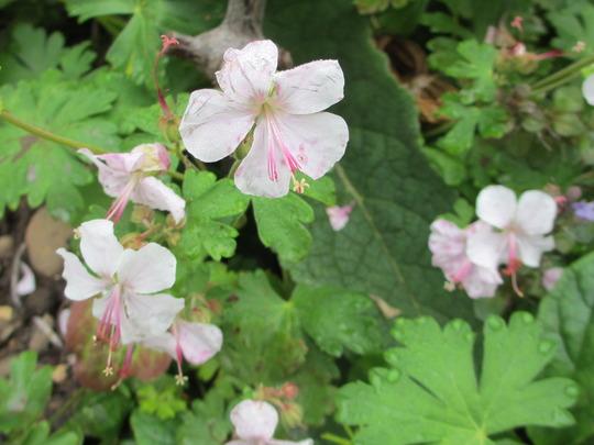 Geranium macrorrhizum 'Ingwersen's variety' (Geranium macrorhizum 'Ingwersens')