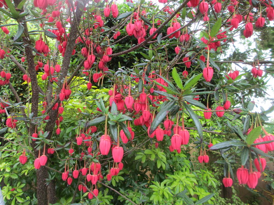 Dotty Daisy's star turn (Crinodendron hookerianum (Chilean Lantern Tree))