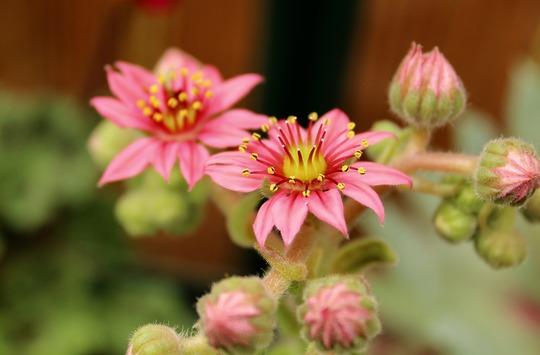 Flowering succulent