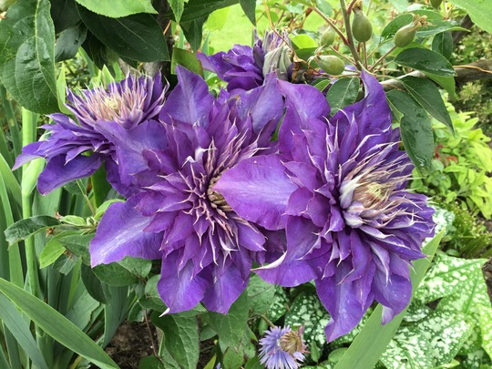 Clematis Multi-Blue before the storm.