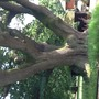 image Spanish Oak