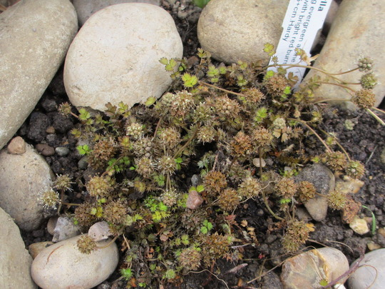 Acaena microphylla (For my File) (Acaena microphylla (New Zealand burr))