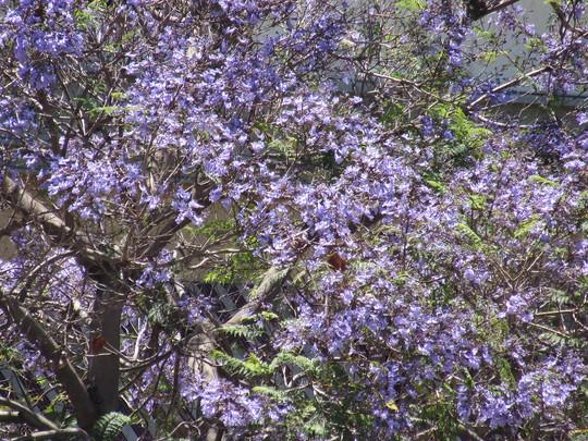 Jacaranda season. (Jacaranda acutifolia (Purple Jacaranda))