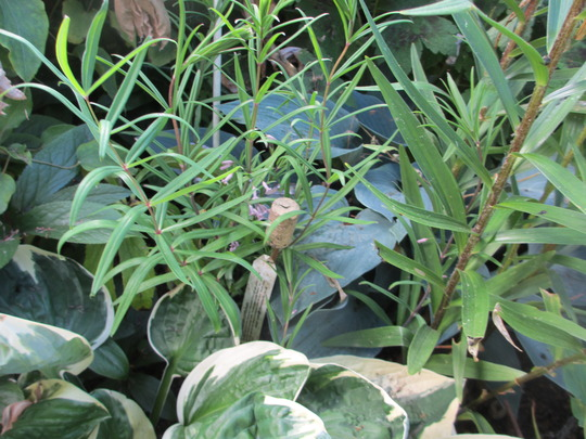 Polygonatum cirrifolium (Update for my File) (Polygonatum cirrifolium)
