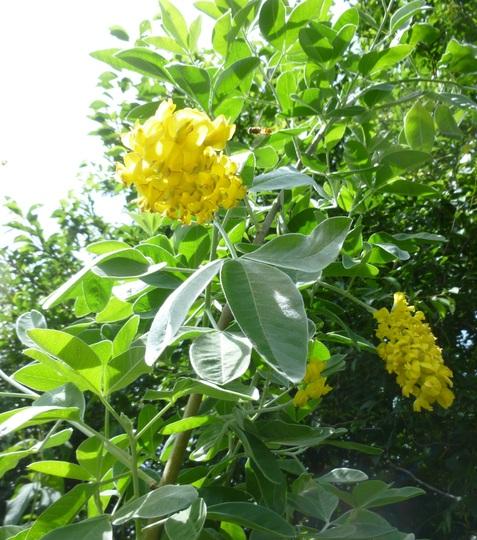 First blooms (Cytisus battandieri (Pineapple broom))