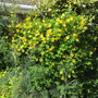 My Yellow Fence (Pic for 3pennybit) (Hypericum)