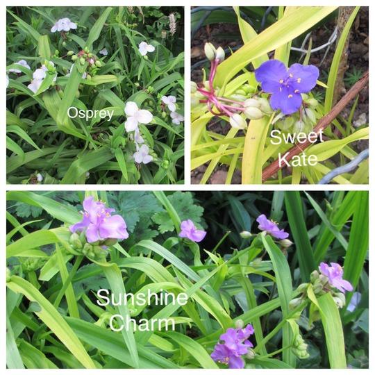 Hardy Tradescantia (Tradescantia virginiana (Spiderwort))