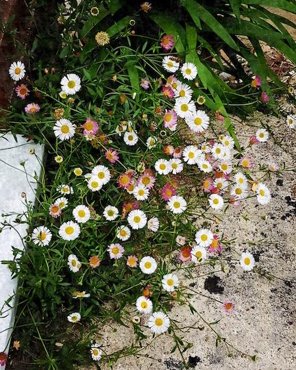 Love this little daisy.... (Erigeron acer (Blue Fleabane))