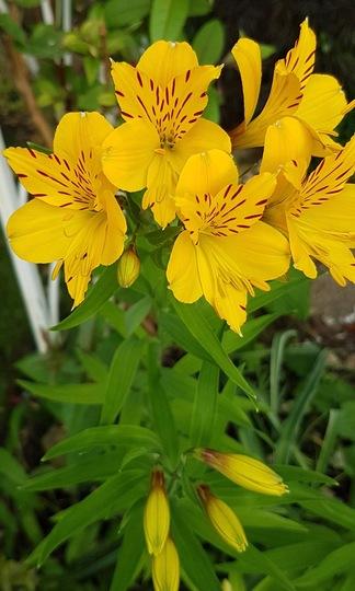 Alstroemeria....Aurea Lutea. (Alstroemeria aurea (Peruvian lily)Lutea..)
