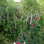 Buddleja_alternifolia_weeping_butterfly_bush_