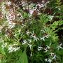 Gilenia trifoliata again