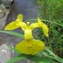 IMG 7243-Yellow Water Iris- Iris Pseudacoris