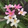 Pink Plumeria  (Pink Plumeria)
