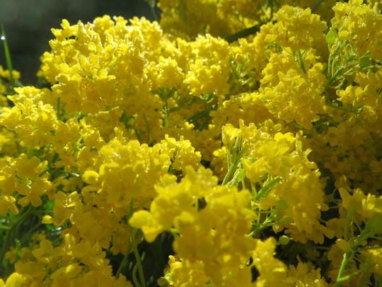 alyssum gold dust (Aurinia saxatilis (Alyssum Gold Ball))