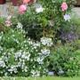 Prostanthera cuneata (Alpine Mint Bush) etc. (Prostanthera cuneata)
