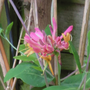 Honeysuckle_closeup_2_june_2018