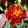 French_marigold_paul_n.y