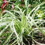 Grass_carex_..everest