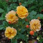 Flower Carpet Amber (Rosa flower carpet Amber..)