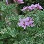 Pelargonium Lady Plymouth.. (Pelargonium capitatum (Rose Scented Geranium))