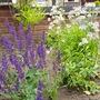 Salvia x sylvestris Mainacht and Astrantia sunningdale variagated