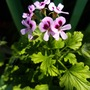 pelargonium..