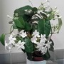 Stephanotis floribunda on a micro-wave.
