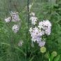 Campanula lactiflora 'Loddon Anna' - 2018 (Campanula lactiflora)