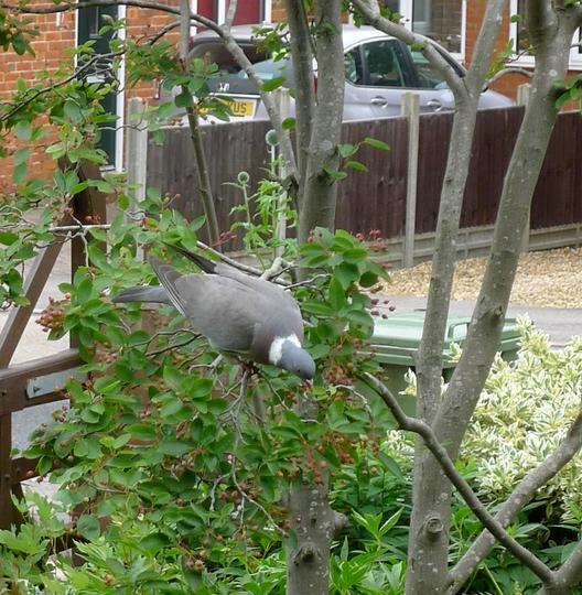 Those pesky birds (Amelanchier lamarckii 'Ballerina')