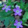 Hardy Geranium Fay Anna.... (Geranium Fay Anna..)