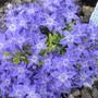 Campanula 'Dickson's Gold' (Campanula garganica (Adriatic bellflower))