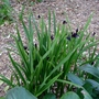 Roscoea scillifolia forma atropurpurea - 2018 (Roscoea scillifolia)