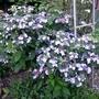 Hydrangea serrata 'Bluebird' - 2018 (Hydrangea serrata)