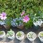 Pots of annuals plus Hostas in pots.