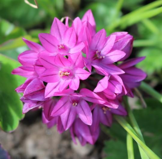 Allium ostrowskianum (Allium ostrowskianum)