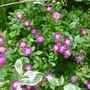 Rambling Rose Veilchenblau