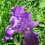 IMG 7262-Grape Koolaid Iris