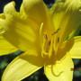 IMG 7265-Lemon Lilies