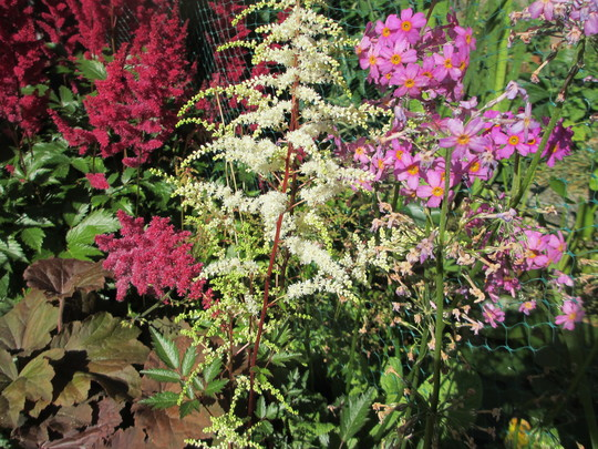 Astilbe 'Cappucino' (For my File) (Astilbe arendsii (Astilbe Colour Magic))