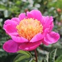 Doreen (Paeonia lactiflora (Peony))