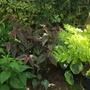 Persicaria microcephala 'Red Dragon' & Royal Fern